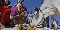 В Индии защита священных коров все чаще используется радикалами для убийств, линчеваний и насилия